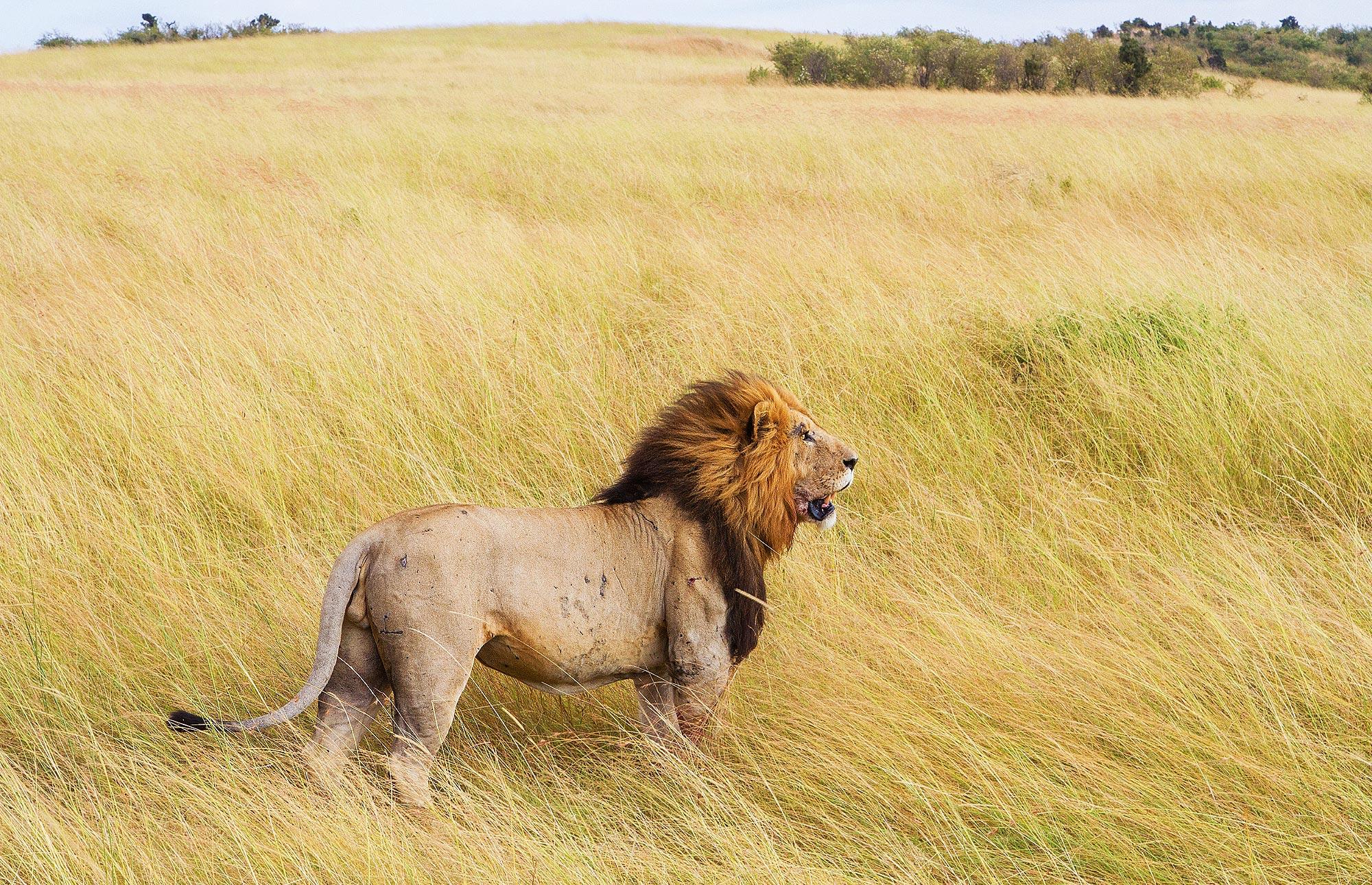 Regele Leu african