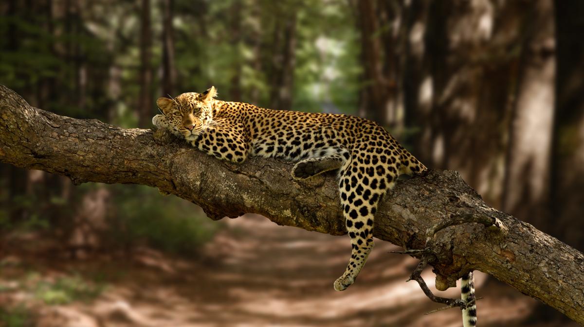 Leopard in mediul natural - The Lounge