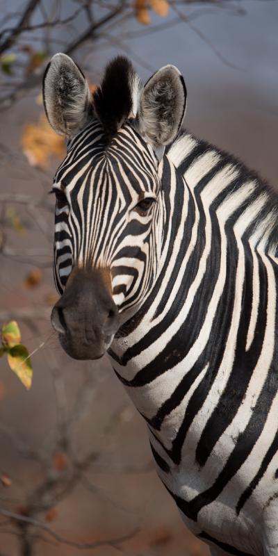 Zebra - The Lounge