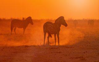 Zebre in savana - The Lounge